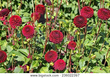 Red Dahlia flowers in the botany garden poster