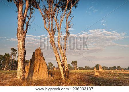 Cathedral Termite Mounds (nasutitermes Triodae), Northern Territories, Australia