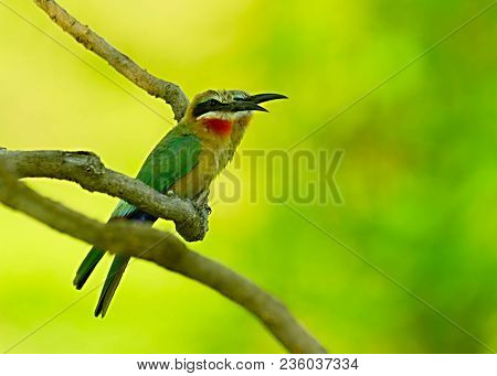 Detail Portrait Of Shiny Bird. Fiery-throated Hummingbird, Panterpe Insignis, Colour Bird Sitting On