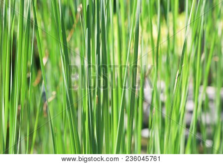 Natural Green Grass Or Leaves Background With Selective Focus