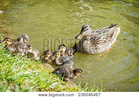 Wild Mallard Duck With Youngs - Anas Platyrhynchos In The Water. Beauty In Nature. Spring Time. Bird