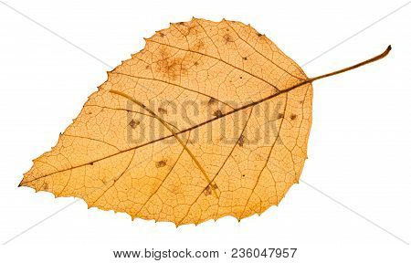 Autumn Yellow Fallen Leaf With Needle Of Larch Tree Isolated On White Background