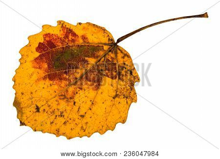 Autumn Yellow Fallen Leaf Of Aspen Tree Isolated On White Background