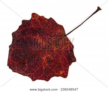 Red Fallen Leaf Of Aspen Tree Isolated On White Background