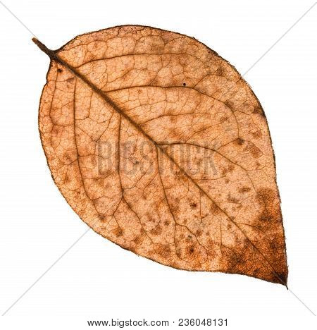 Back Side Of Autumn Rotten Leaf Of Poplar Tree Isolated On White Background