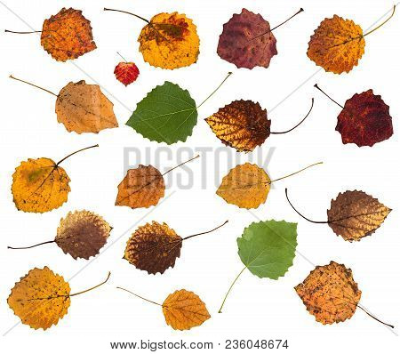 Set Of Various Leaves Of Aspen Trees Isolated On White Background