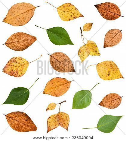 Set Of Various Leaves Of Poplar Trees Isolated On White Background