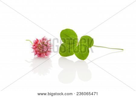 Green Four - Leaf Clover With Pink Clover Blossom. Isolated On White Background