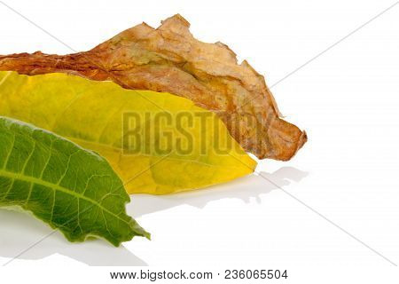 Fresh And Dried Tobacco Leaves Isolated On White Background.