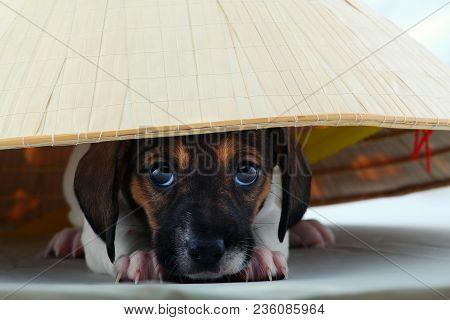 Dachshund Dog Piebald Colour Hat Studio Quality