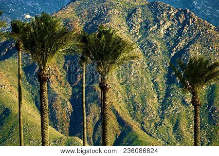 Manicured Palm Trees With The Rugged San Jacinto Mountains Beyond Taken In Cabazon, Ca