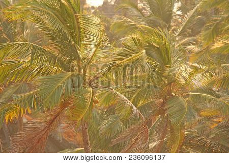 Green Background Of Palm Trees. Exotic Tropical Background. Palm Tree Or Grove, Top View Of Palm Tre