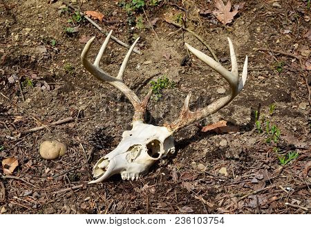 Skull And Antlers Of A Whitetail Deer Buck On A Forest Floor.