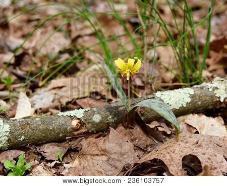 Beautiful Yellow Flower And Spotted Green Leaves Of A Trout Lily Plant Emerging In A Spring Forest.