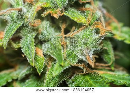 sugar trichomes cbd thc shot cannabis, with Macro buds of medicinal marijuana . Concepts of legalizing herbs weed,, buds grown cannabis in the house, Bud cannabis before harvest poster