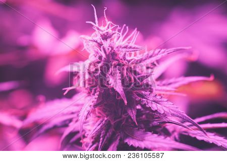 Led Grow Large Cannabis Bud Grown Under Lamps. The Concept Of Growing Medical Marijuana Under Artifi