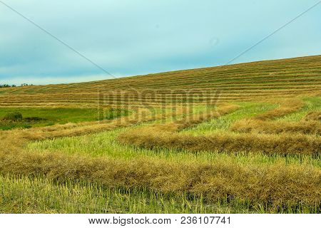 Hedge Rows In A Field, Kneehill County, Alberta, Canada