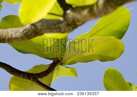 Green Leaves With Backlight On Blue Sky Background