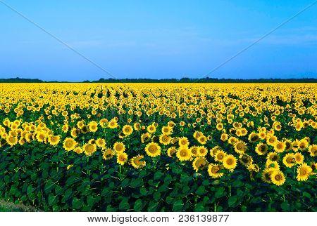 Sunflowers. Flowers Of A Sunflower. Sunflowers In The Sun. Sunflowers At Dawn.