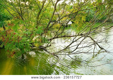Branch And Leave Tree Expands On The River. The Tree Grow Expanding To The Water.  Natural Green Wal