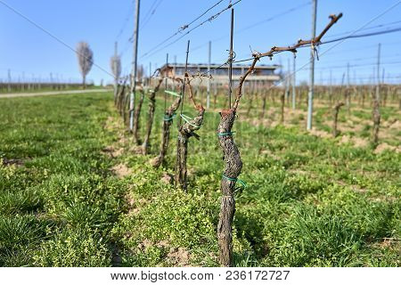 Popice, Czech Republic - 09 April, 2018: Moravia Vinery In The Begining Of Spring, Grape Vine Lines