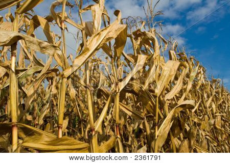 Ripe Corn Stalks And Ears