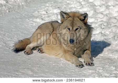 Wolf In The Wild In Winter, Gray Wolf With A Predatory Look