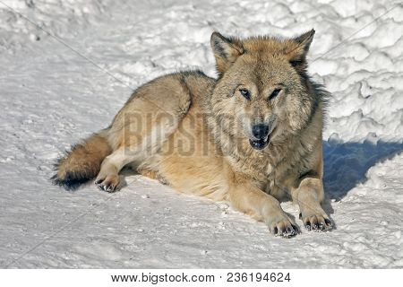 A Wolf In The Wild In Winter, The Sight Of A Wolf With A Predatory Grin