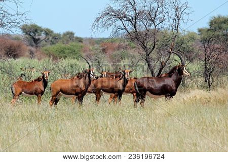Small herd of sable antelopes (Hippotragus niger) in natural habitat, South Africa