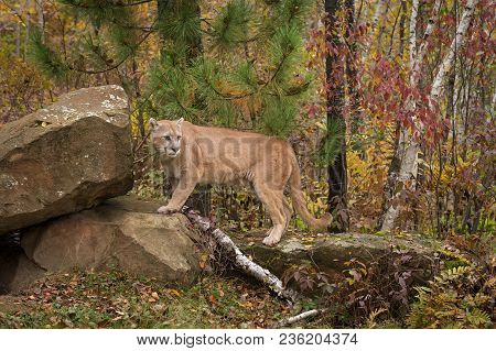 Adult Male Cougar (puma Concolor) Turns On Rock - Captive Animal