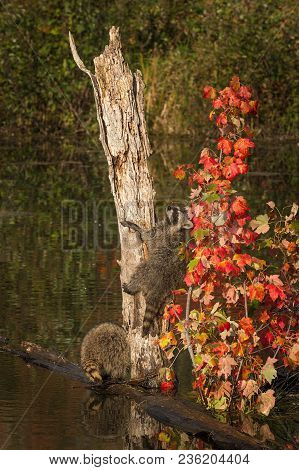 Raccoon (procyon Lotor) Climbs Up Tree - Captive Animals