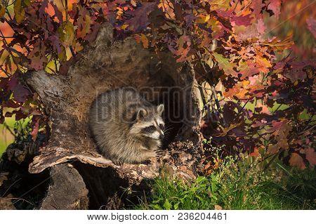 Raccoon (procyon Lotor) Raises Paw Inside Log - Captive Animal