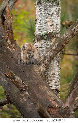 Female Cougar Kitten (puma Concolor) On Branch By Birch - Captive Animal