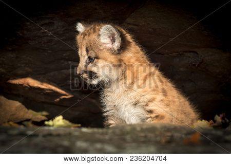 Female Cougar Kitten (puma Concolor) Looks Left In Rocks - Captive Animal