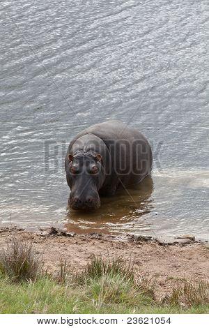 Peeping Hippo