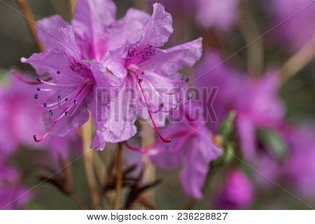 Flowers Of The Rhododendron Species Rhododendron Dauricum