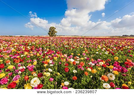 Kibbutz fields of flowering garden buttercups - ranunculus. Spring flowering. Lush cumulus clouds fly over the fields. Concept of ecological and rural tourism