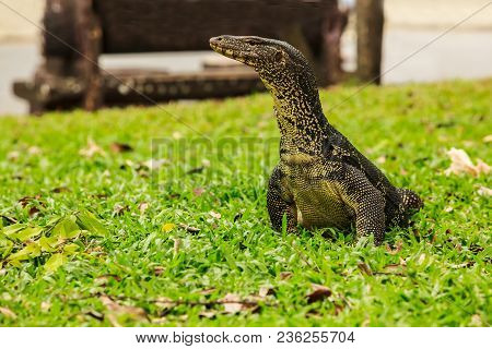 Varanus Salvator, Commonly Known As Water Monitor Or Common Water Monitor, Is A Large Lizard Native