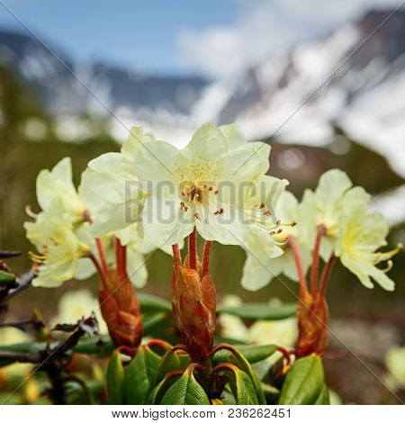 Spring Flora Of Kamchatka: Beauty Golden Flower Rhododendron Aureum On Background Of Mountains On Su