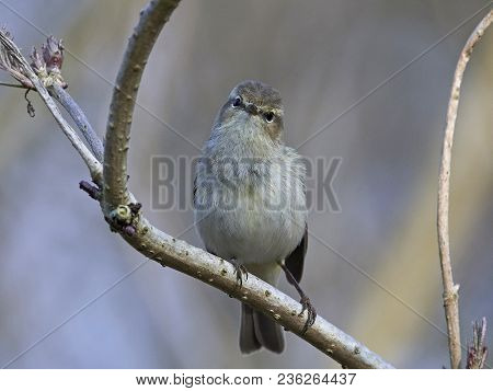 Common Chiffchaff (phylloscopus Collybita)