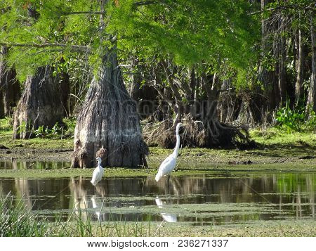 Two White Heron Birds In The Swamps Of Louisiana
