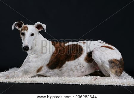 Beautiful Galgo Is Lying On A Carpet In The Studio