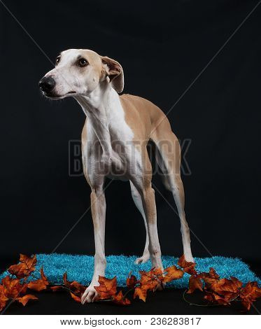 Brown Galgo Is Standing On A Carpet In The Studio With Autumn Decoration