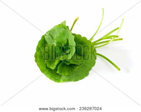 Centella Asiatica Or Asiatic Pennywort Isolated On White Background