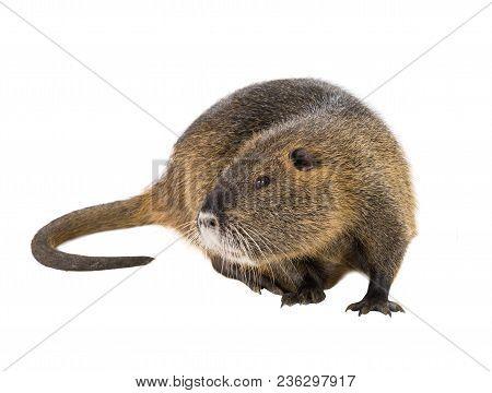 Coypu (myocastor Coypus) Aka River Rat Or Nutria Mammal Animal Isolated On A White Background