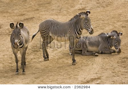 Group Of Grevy'S Zebra