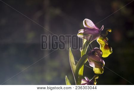 Beautiful Wild Rare Orchid Ophrys Gr. Scolopax Also Known As The Woodcock Bee-orchid. Extreme Backli
