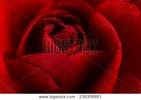 Red Rose In Close Up View With Water Droplets On Petals, Only Petals In View