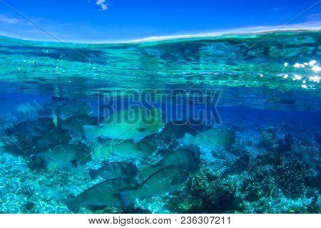Bumphead Parrotfish at Sipadan Island, Malaysia