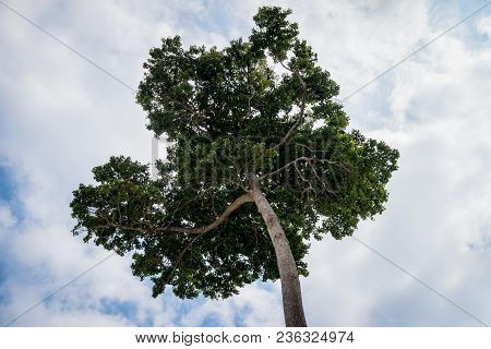 The Crown Of A Tree On The Background Of A Blue Sky With Clouds. Unique Tree, Rare Species. Tropical